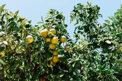 Grüne und reife Orangen im Baum Stockbilder