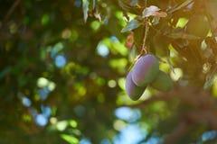 Grüne und rosa Mangofrüchte Stockfotografie