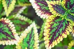 Grüne und rote Blattnatur der Nahaufnahme für Hintergrund Kreatives gemacht von den grünen und roten Baumblättern lizenzfreie abbildung