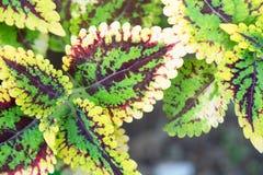Grüne und rote Blattnatur der Nahaufnahme für Hintergrund Kreatives gemacht von den grünen und roten Baumblättern stock abbildung