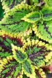 Grüne und rote Blattnatur der Nahaufnahme für Hintergrund Kreatives gemacht von den grünen und roten Baumblättern vektor abbildung