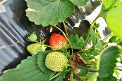 Grüne und rote Erdbeeren auf Anlage Stockfotografie