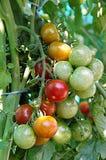 Grüne und rote Kirschtomaten Stockfotos