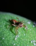 Grüne und rote Spinne auf der Mango Stockbild