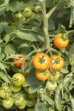 Grüne und rote Tomaten lizenzfreies stockfoto