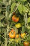 Grüne und rote Tomaten lizenzfreie stockfotografie