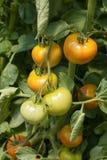 Grüne und rote Tomaten lizenzfreie stockbilder