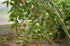 Grüne und rote Tomaten auf einer Niederlassung im Garten Stockbilder