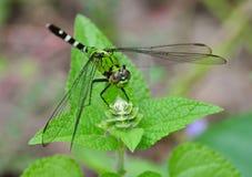 Grüne und schwarze Libelle Lizenzfreie Stockfotos