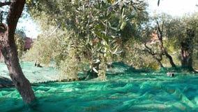 Grüne und schwarze neue Oliven auf Olivenbaum und Niederlassung In Ligurien-, Italien-, Taggiasca- oder Caitellier-Kulturvarietät stock video footage
