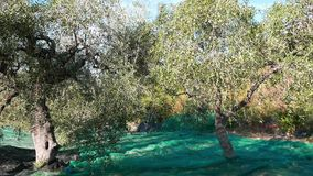 Grüne und schwarze neue Oliven auf Olivenbaum und Niederlassung In Ligurien-, Italien-, Taggiasca- oder Caitellier-Kulturvarietät stock footage