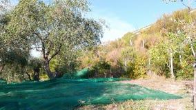 Grüne und schwarze neue Oliven auf Olivenbaum und Niederlassung In Ligurien-, Italien-, Taggiasca- oder Caitellier-Kulturvarietät stock video