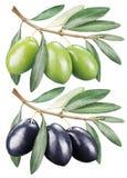 Grüne und schwarze Oliven mit Blättern Stockfotografie