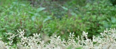 Grüne und weiße Blattanlage des neuen Frühlinges des Blatthintergrundes im Garten Lizenzfreie Stockfotos
