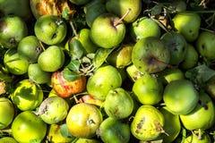 Grüne unreife kleine Äpfel stockfotos
