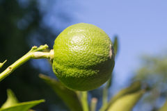 Grüne unreife Orange auf Baum Stockfotos