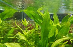 Grüne Vegetation unter Wasser Stockfotos