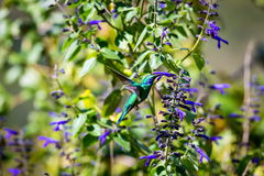 Grüne Violet Eared Hummingbird Stockfoto
