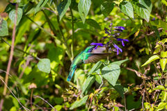 Grüne Violet Eared Hummingbird Stockfotos