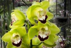 Grüne, violette und weiße Orchideen blühen in der Ausstellung Lizenzfreie Stockfotografie
