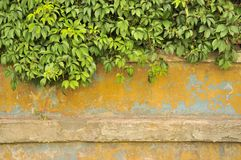 Grüne Virginia-Kriechpflanze auf alter Betonmauer stockbilder