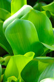 Grüne wächserne Blätter Stockfoto
