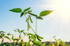 Grüne wachsende Sojabohnen lizenzfreie stockfotografie