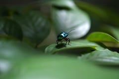 Grüne Wanze über dem grünen Blatt Stockfotografie