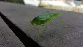 Grüne Wanze im kolumbianischen Dschungel Stockfotos