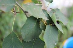 Grüne Wanzen auf grünem Blatt mit natürlichem Hintergrund 20494 Stockfoto