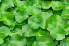 Grüne Wasserhyazinthenblätter Lizenzfreie Stockfotos
