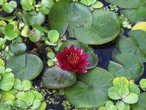 Grüne Wasserlilien Stockfotografie