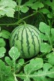 Grüne Wassermelone auf einem Gebiet Stockfotografie