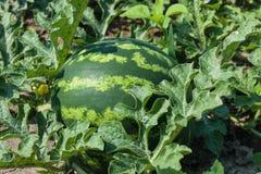 Grüne Wassermelone wächst auf dem Bett Lizenzfreies Stockfoto