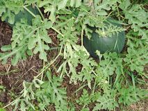 Grüne Wassermelonen im Garten lizenzfreie stockfotografie
