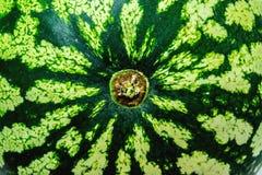 Grüne Wassermelonennahaufnahmebeschaffenheit Lizenzfreie Stockfotos
