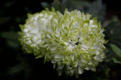 Grüne weiße Chrysantheme Stockfotos