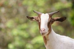 Grüne weiße Ziege Stockfoto