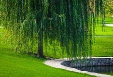 Grüne Weide Stockfotografie