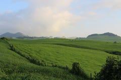 Grüne Weide mit Hügeln und Kühen Stockfotografie