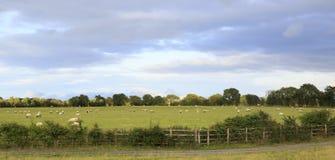 Grüne Weide mit Schafen in der Landschaft von Irland Stockbilder