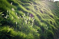 Grüne Weiden Stockfotos