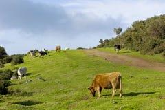 Grüne weiden lassende Weide der Kühe Lizenzfreies Stockbild