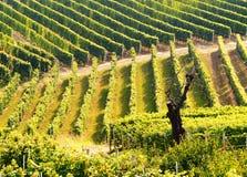 Grüne Weinberge Stockbild