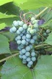 Grüne Weintraube Stockfotos