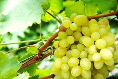 Grüne Weintrauben Nahaufnahme einer Weintraube auf Weinstock im Weinberg stockfotos