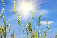 Grüne Weizenähren und Sonne Lizenzfreie Stockbilder