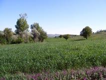 Grüne Weizenbilder auf dem Gebiet für Garten- und Samenwebsite Stockbilder