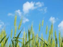 Grüne Weizenohren Stockbilder