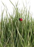 Grüne Weizensprößlinge und ein Dameprogrammfehler Lizenzfreies Stockfoto